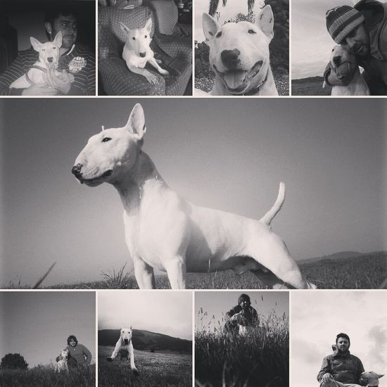 R.I.P Ian love you....siempre recordado Dog Bullterrier Ianthedog Bullterrierlove