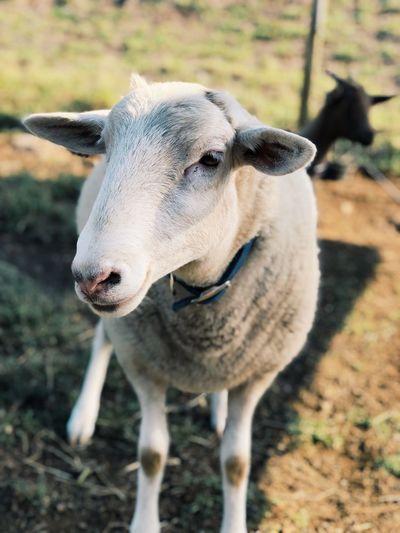 bubba Livestock