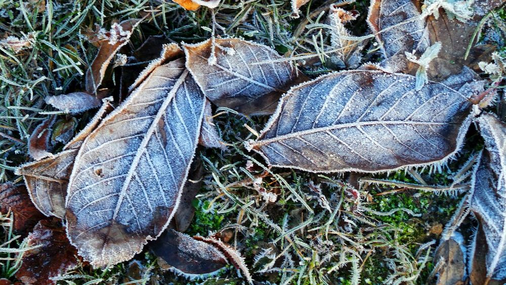 Leaf Outdoors Autumn Beauty In Nature Amazing Views Of The World Cold Temperature The Places I've Been And The Things I've Seen Autumn 2016 November2016 Grass Bokeh Frozen Snow Winter Freshness Iced Frozen Leaves First Touch Of Winter Winter Is Coming... Coldweather It Is Cold Outside