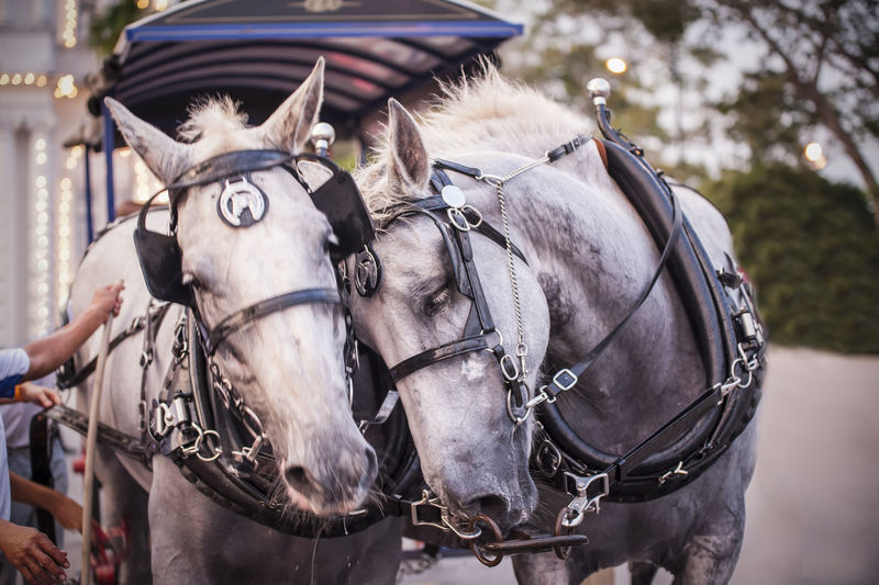Horses with bridle