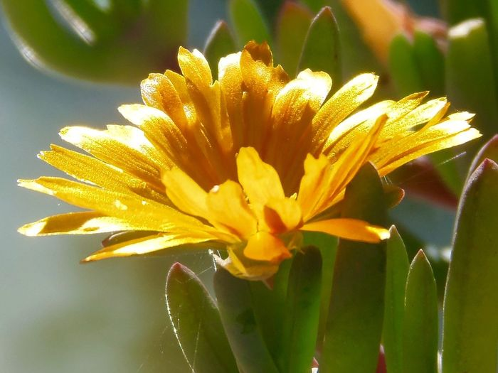 Plant No People Outdoors Golden Flower Flower Head Blooming Beauty In Nature Ice Plant Flowers ICE PLANT Golden Flowers