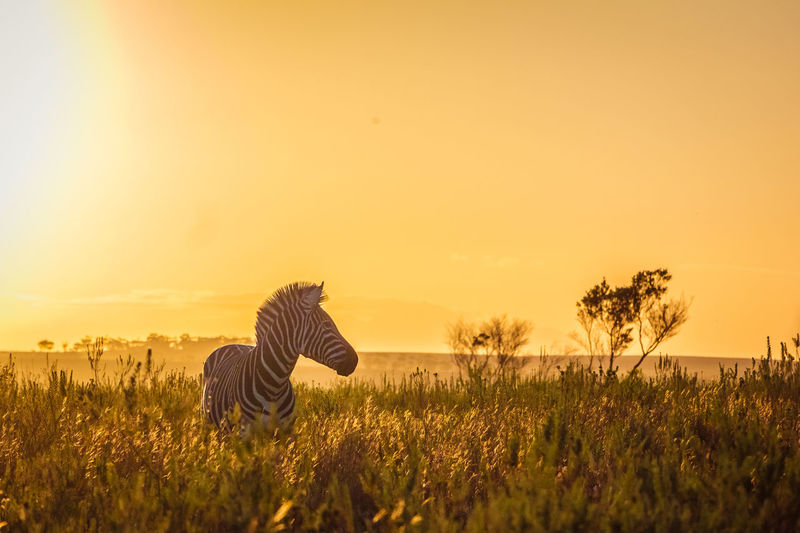 Golden Hours for Golden Moments Field Land Beauty In Nature Sunset Environment Grass Outdoors Animal Wildlife Scenics - Nature Animal Golden Golden Hour Zebra Springtime Decadence
