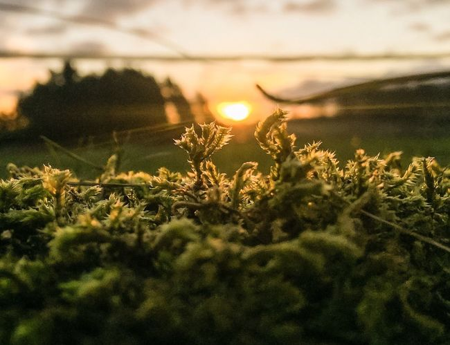 Macro Moss Sunrise Scotland Iphone 6 Showcase: January Golden Hour