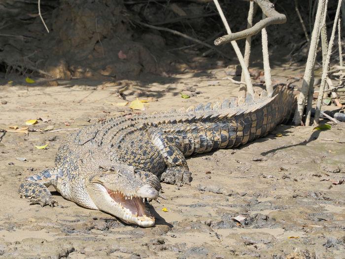 High angle view of crocodile on field