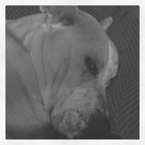 Busted AllEyesOnMe Sarge Loyal Protector Lazy Pitbull Pitbulllove Sleepyhead
