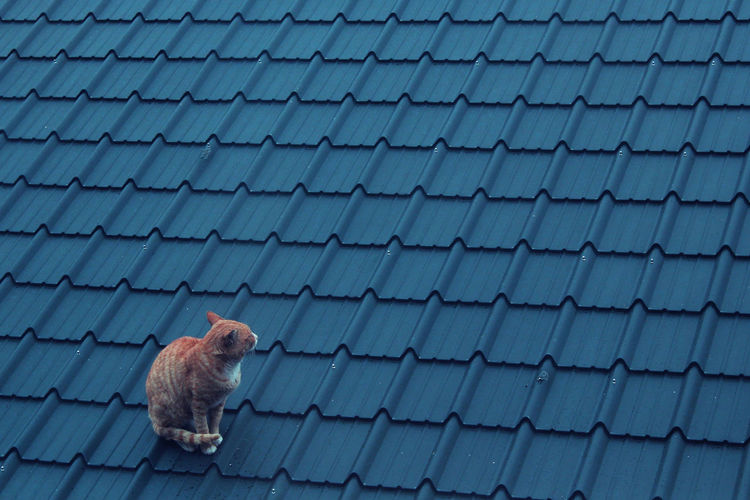 Cat Look Crouching Kity On The Roof (;  A Roofing Tile Animal Themes Blue Roof Blue Rooftops Blueroof Cat♡ Domestic Animals Domestic Cat Mammal No People On The Rooftop One Animal Outdoors Pets Roof Tile Sitting Tiled Roof  Pet Portraits South Korea Cats 🐱 Cat Photography
