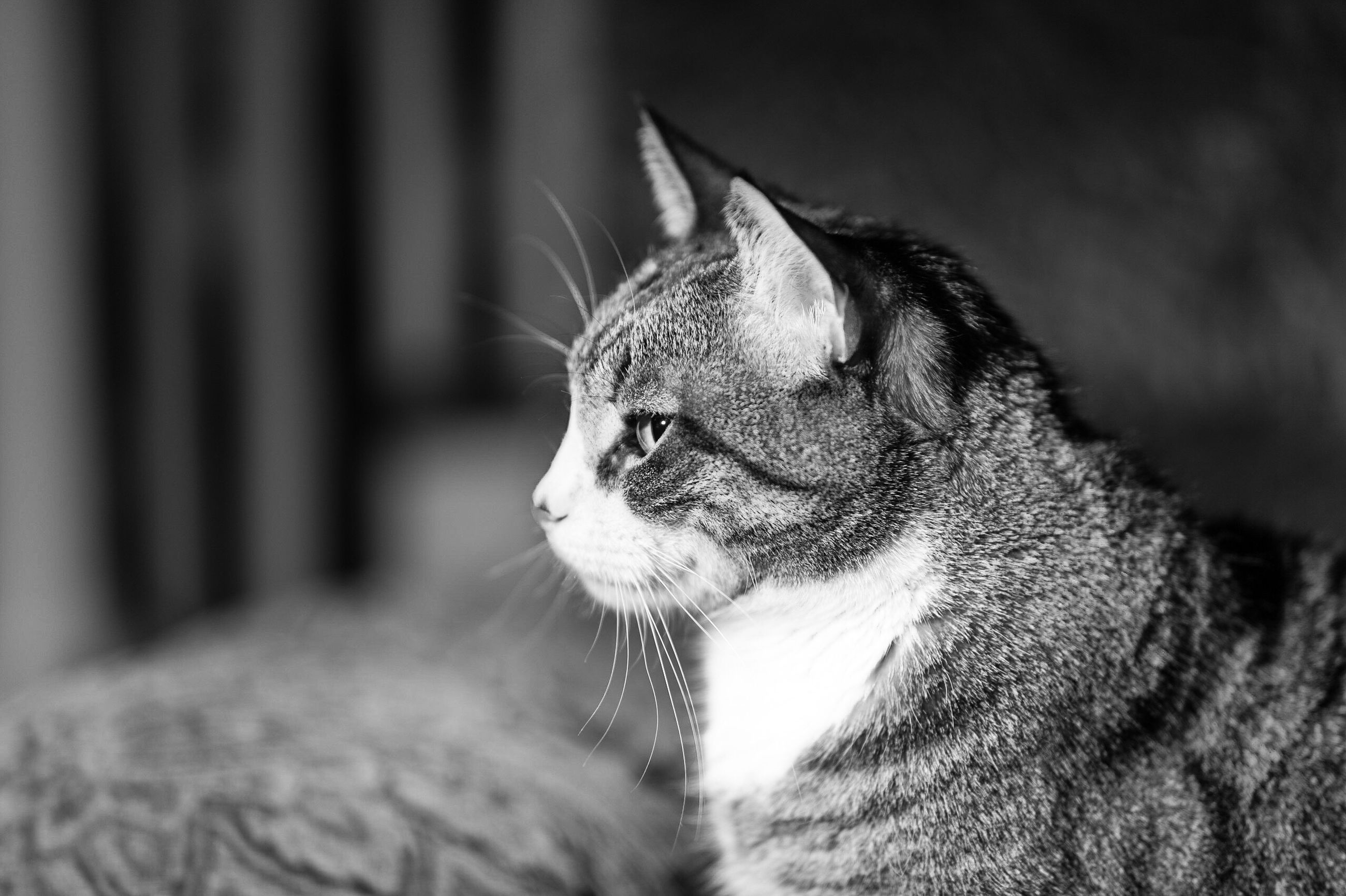 one animal, animal themes, pets, domestic animals, mammal, close-up, domestic cat, no people, feline, indoors, day