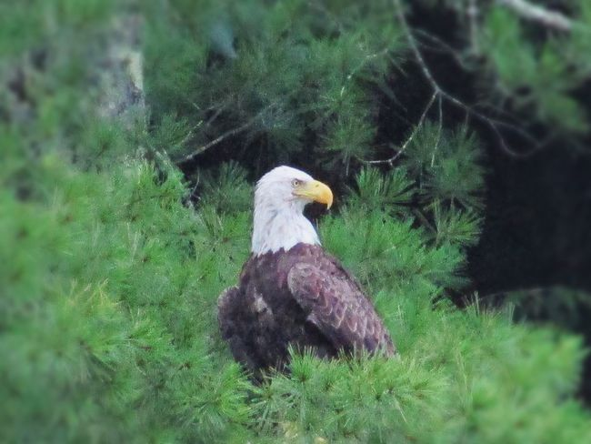 Bald Eagle Eagle Animal Themes One Animal Bird Grass Nature Animals In The Wild No People Outdoors Day Growth Perching Domestic Animals Close-up Tree Slate Run, Pennsylvania