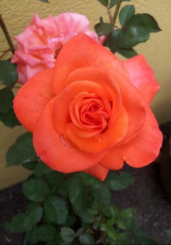 The Color Of Spring Roses🌹 Plants 🌱 Plants And Flowers Rose Petals Orange Color Nella's Photographic World