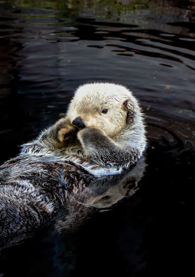 Sea Otter Animal Animal Themes Animal Wildlife Fauna Hair Mamal Nature Otter Otters Sweet Water Wild Wildlife Wwf