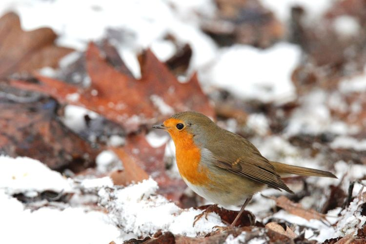 Close-Up Of Robin In Snow