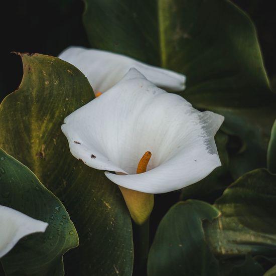 White calla lily flower in the garden in summer