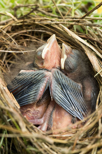 Baby Cardinals Sleeping Animal Themes Animals In The Wild Baby Baby Bird Bird Close-up Day Field High Angle View Nature No People Outdoors Two Animals Wildlife