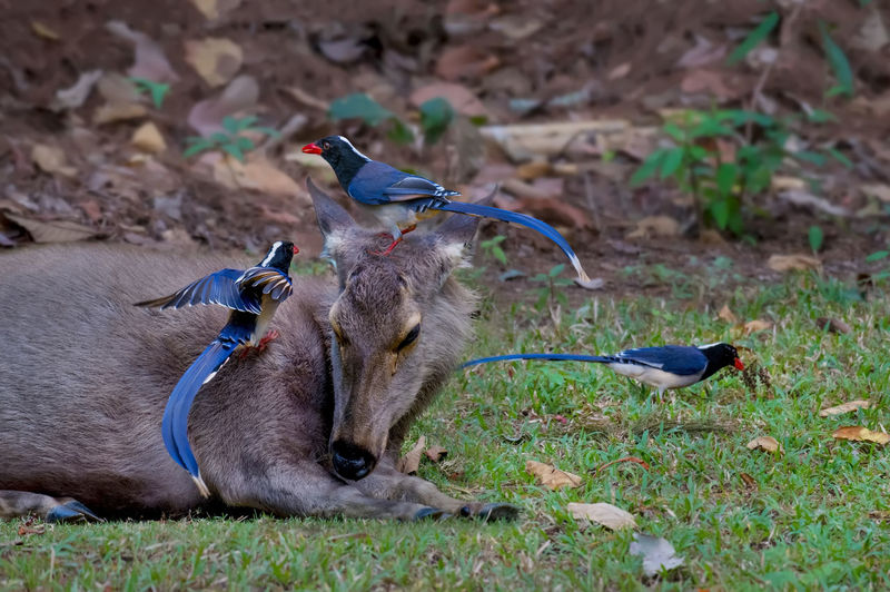 Blue magpie are