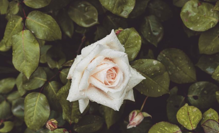 White Rose Water Droplets After The Rain Taking Photos Feeling Creative OpenEdit EyeEm Best Shots Freshness EyeEm Nature Lover Nature High Angle View High Angle View Flower Head Close-up In Bloom