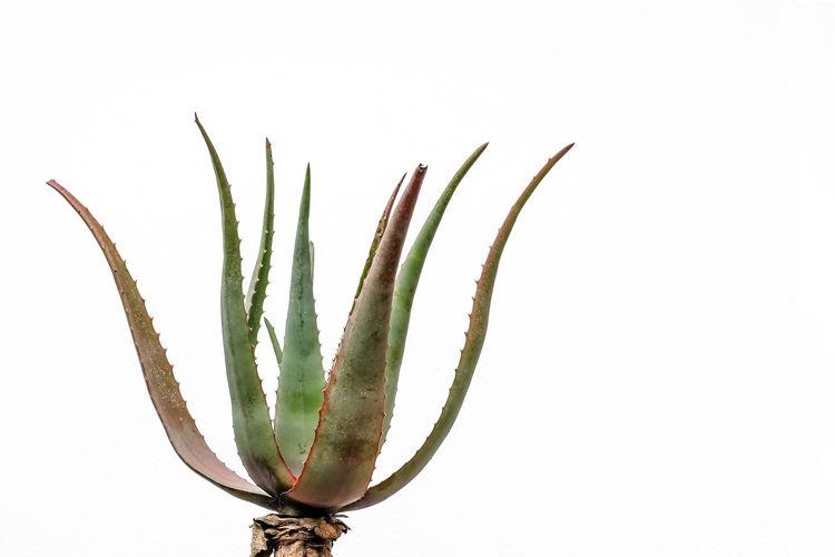 Aloe White Background Studio Shot No People Copy Space Still Life Plant Green Color Growth Nature Plant Part Succulent Plant Aloe Aloe Vera Plant Aloe Vera Outdoors Beauty In Nature