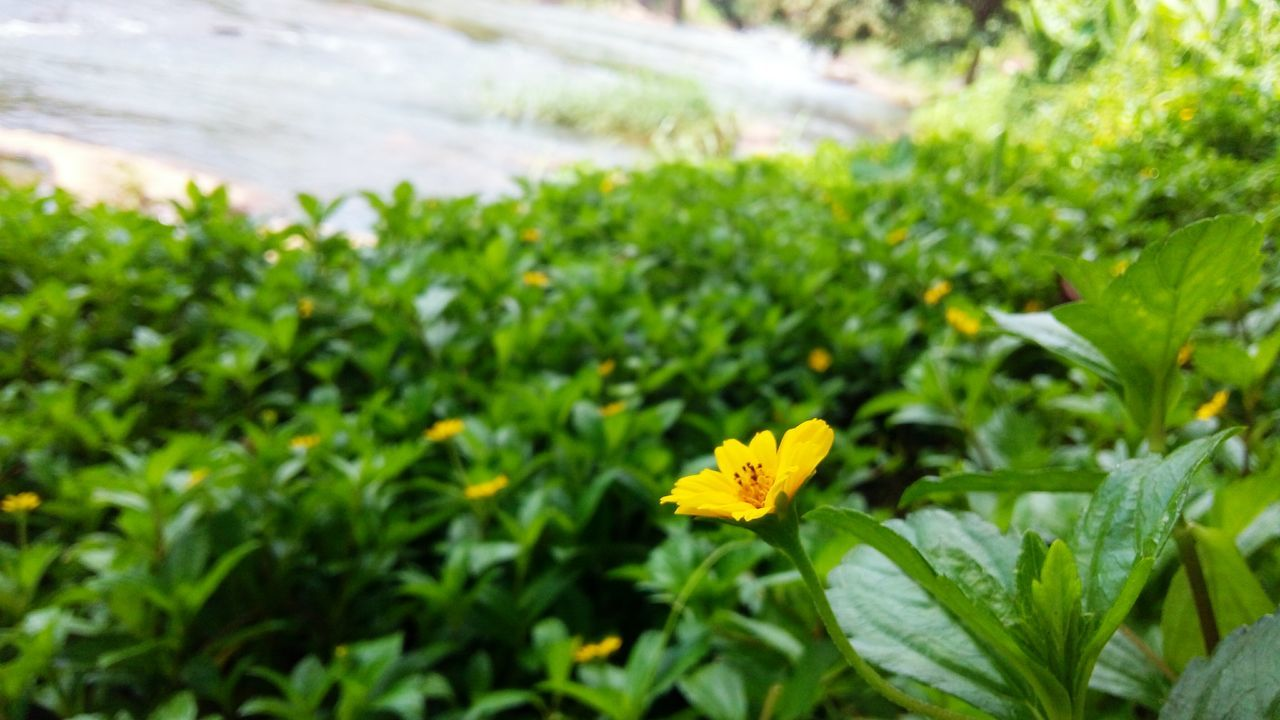 flower, growth, nature, plant, green color, beauty in nature, leaf, petal, freshness, yellow, fragility, blooming, no people, flower head, day, outdoors, close-up