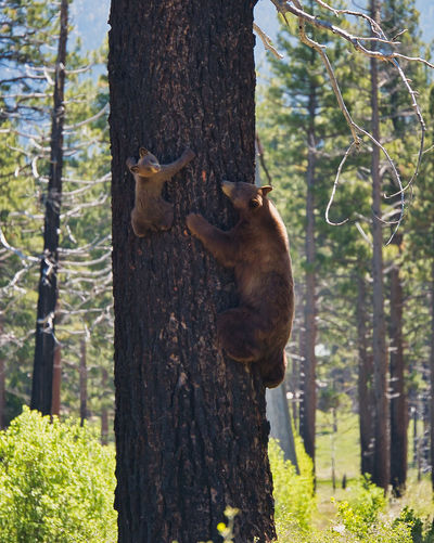 Animal Wildlife Animals In The Wild Bear Cub Bear In A Tree Climbing Day Forest Full Length Land Mammal Nature No People One Animal Outdoors Plant Tree Tree Trunk Trunk Vertebrate