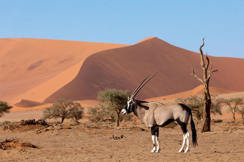 Gemsbok at desert against clear sky