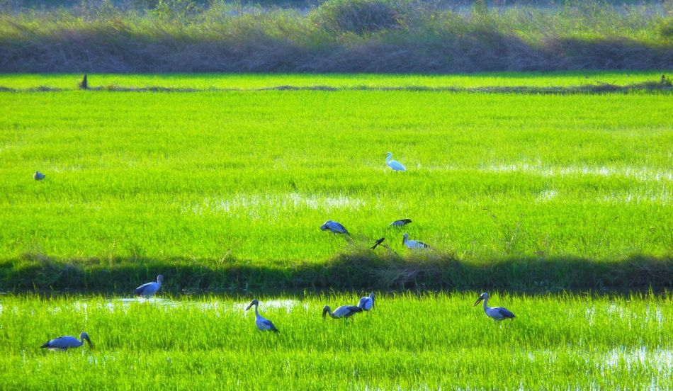 Green Color Field Grass Agriculture Nature Rural Scene Growth Day Beauty In Nature Landscape Scenics Outdoors Rice Paddy Bird