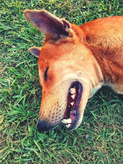 Dog Dog Pets Lying Down Relaxation Field High Angle View Grass Close-up Animal Mouth Grass Area Boxer - Dog Canine Snout Yawning Adult Animal Animal Teeth Animal Nose