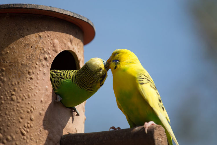 Close-up of budgies kissing at birdhouse