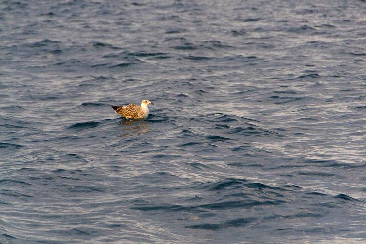 Duck swimming in a sea