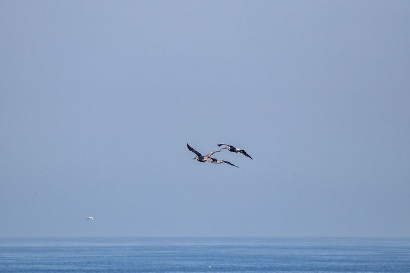 pelicans in flight over the ocean Pelicans In Flight Pelican Sky Sea Horizon Over Water Water Horizon Flying Animal Themes Waterfront Animal Animals In The Wild Vertebrate Clear Sky Animal Wildlife Copy Space Bird Scenics - Nature Beauty In Nature Mid-air Spread Wings No People Outdoors