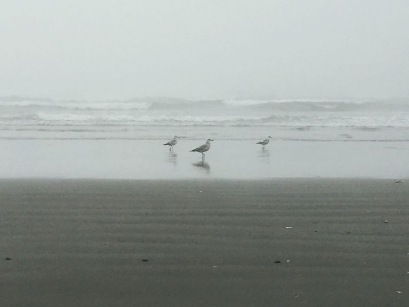 Fog Over Water Birds Kalaloch