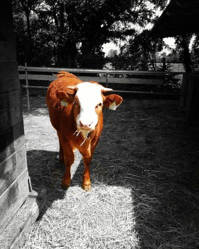 Domestic Animals, Pets, Animal Themes Animal Themes Cow Outdoors Splashphotography Farm Life A'sFarm