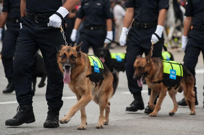 German shepherds walking with police force on street