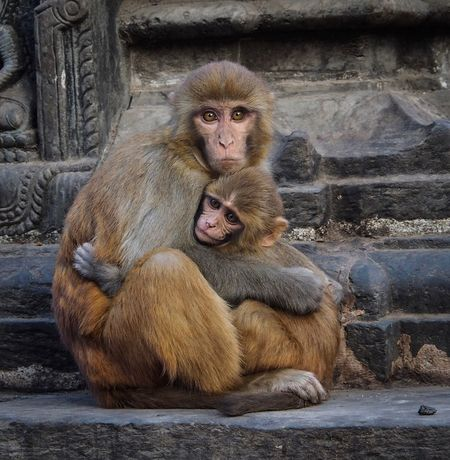 A mothers love Mother And Baby Monkey Mother And Baby EyeEm Best Shots Eyemcaptured EyeEm Selects EyeEm Nature Lover Travel Photography Nepal Swayambhunath Animal Themes Animal Portrait Animal Photography Monkeytemple Monkey Primate Mammal Animal Wildlife Animals In The Wild Young Animal Looking At Camera Animal Family
