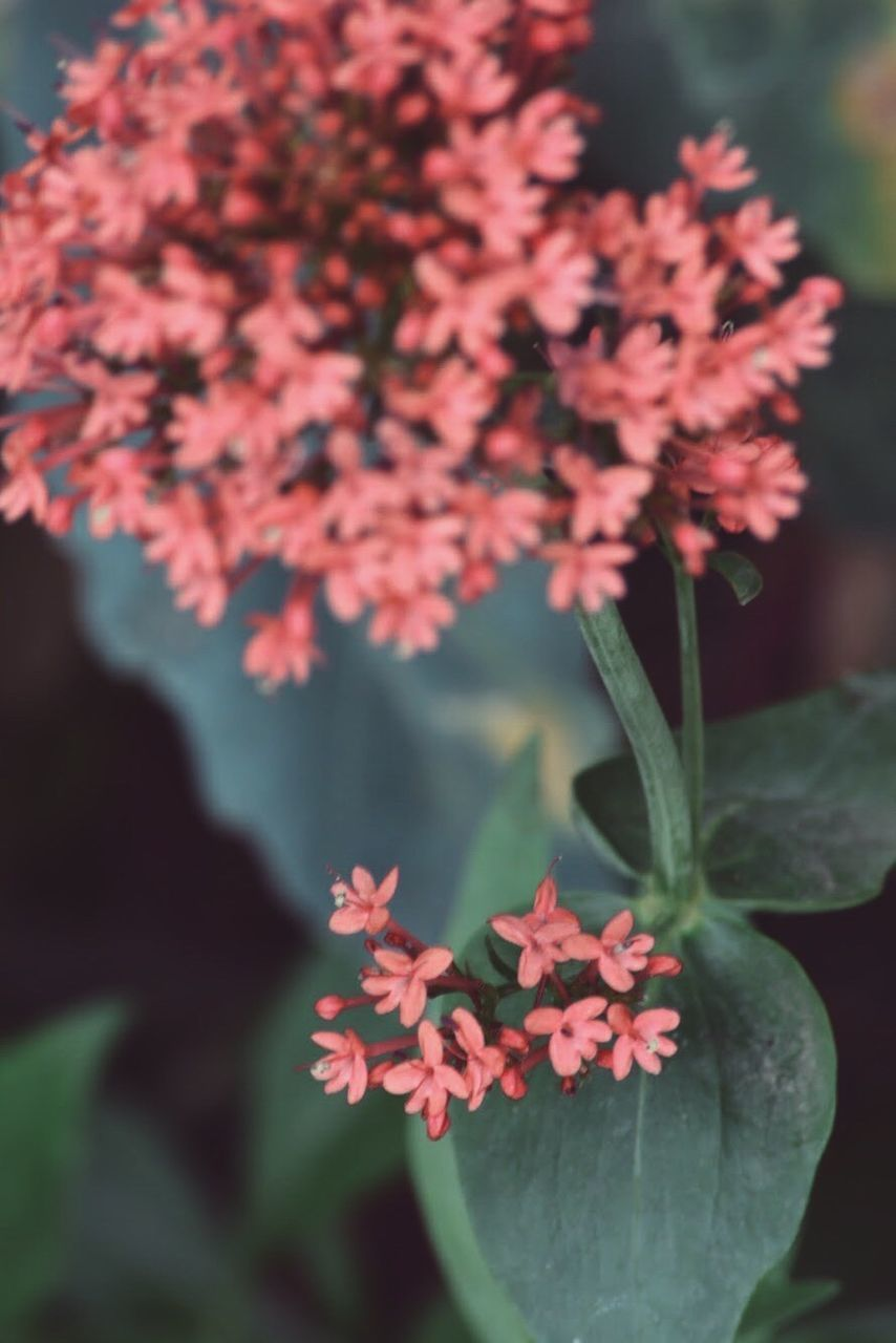 flowering plant, flower, plant, growth, fragility, freshness, vulnerability, beauty in nature, petal, close-up, pink color, flower head, inflorescence, nature, plant part, focus on foreground, selective focus, day, no people, leaf, outdoors, bunch of flowers, lantana