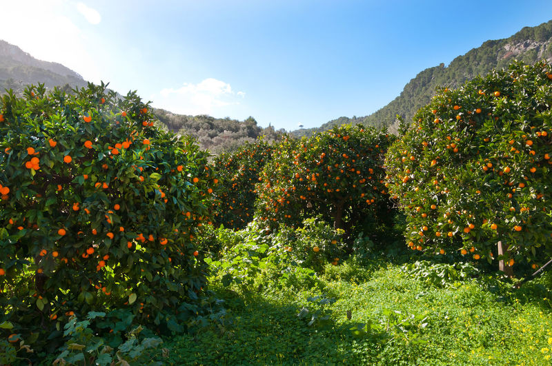 Orange valley, Mallorca, Balearic islands, Spain Beauty In Nature Citrus Fruit Day Freshness Green Color Growth Landscape Mountain Mountain Range Nature No People Orange Fruits Oranges Outdoors Plant Scenics Sky Tranquil Scene Tranquility Tree
