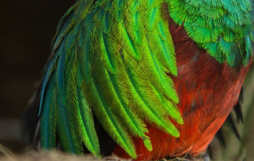 Quetzal Feather  Bird Beauty In Nature
