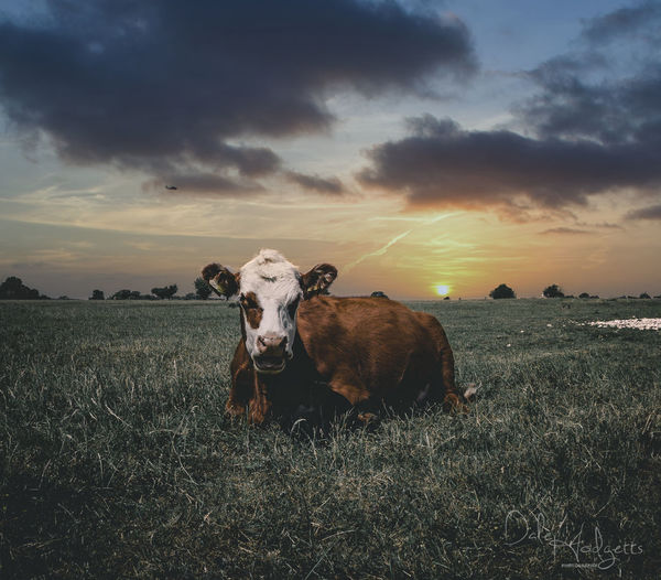 View of cow on field during sunset