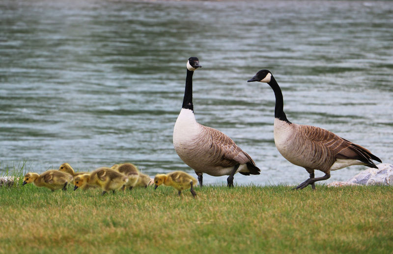 Animals In The Wild Canada Goose Canadian Geese Geese Family Gosling Grass Nature Outdoors Water