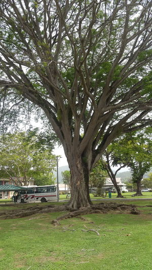 Becausd I love Nature and Big Trees Uwi Trinidad Nature Bigtree Tree