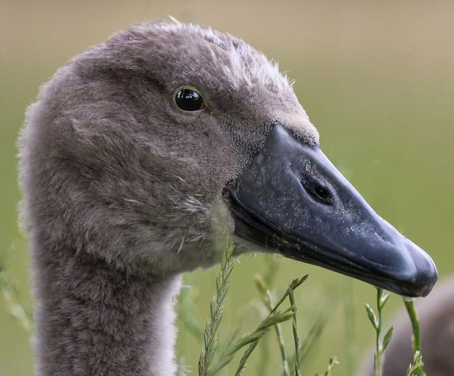 Close-Up Of Cygnet Looking Away