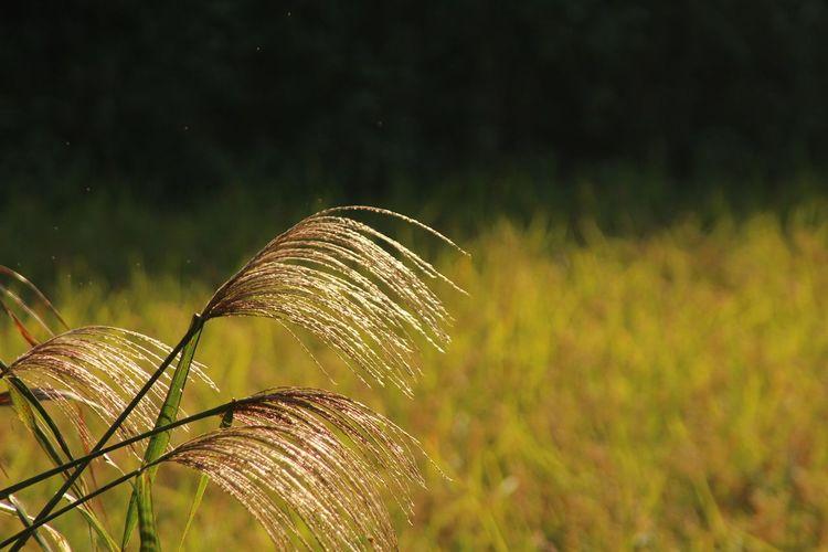 Autumn Gold J Japan Japan Photography Kamakura Nature Rice Paddy