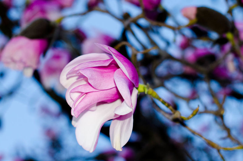 Close-up of fresh pink flower blooming in tree