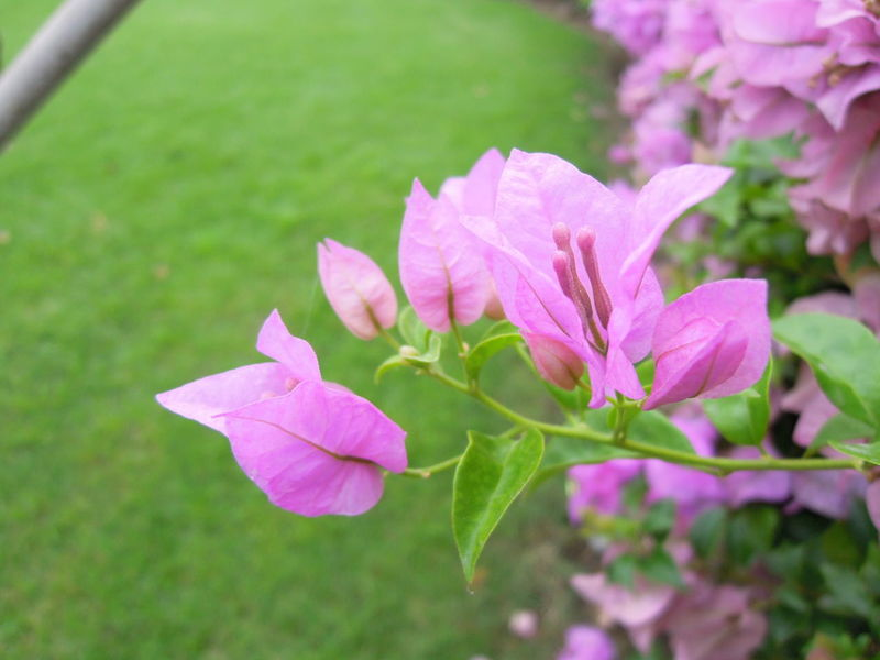 Bougainvillea flower in garden Bloom Blossom Bougainvillea Bougainvillea Flower Closeup Day Flora Flower Garden Grass Green Greensward Leaf Leaves Macro Nature Outdoors Park Pink Color Plant Purple Purple Flower Tree Violet Wide