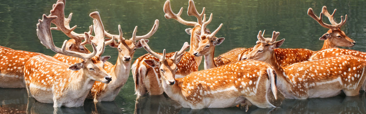 Large group of fallow deer resting in pond water on summer. web banner header for website.
