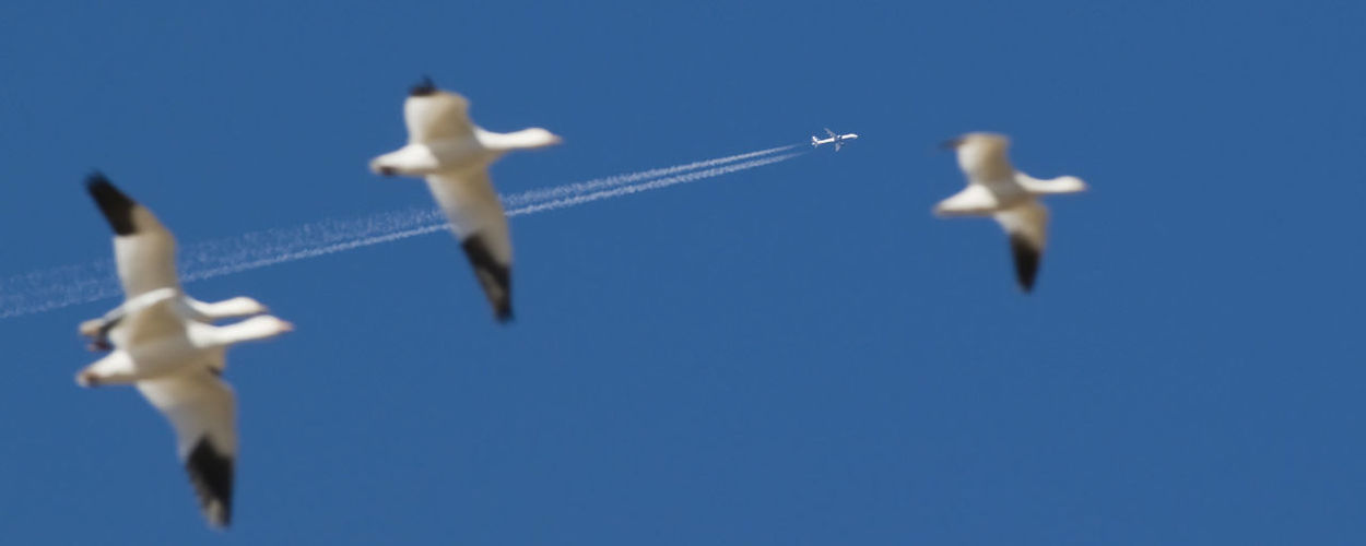 Flying Things Snow Geese Jet Plane