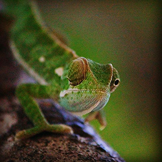 Flap necked chameleon. Africanamazing Natureaddict Animalsaddict Squaredroid @Animals Wildlife Igersmp Africa Naturelover_gr