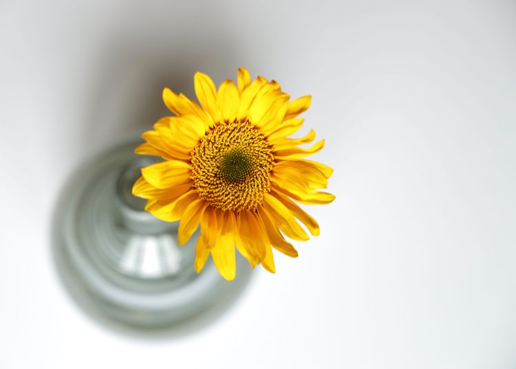 Sunflower Flowering Plant Flower Freshness Flower Head Plant Yellow Fragility Petal Vulnerability  Beauty In Nature Close-up Studio Shot Indoors  White Background Nature No People Sunflower Growth