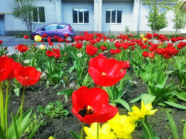 Tulips Tulips🌷 Spring Outdoors Outdoor Photography Outdoors Photograpghy  Red Flowers, Nature And Beauty Spring Flowers Flowers Yellow Yellow Flower Yellow Flowers House Garden Garden Flowers The Great Outdoors - 2016 EyeEm Awards