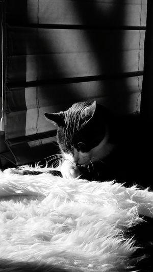Cat Housecat Housecats Cats Cat♡ Catoftheday