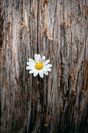 Close-up of white daisy on tree trunk