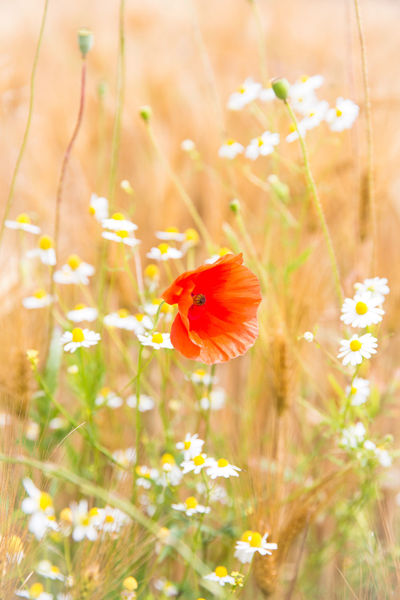 Chamomile Summertime Sunlight Animal Themes Beauty In Nature Close-up Flower Flower Head Flowering Plant Fragility Freshness Grain Growth Inflorescence Nature No People Outdoors Petal Plant Plant Stem Pollen Poppy Red Selective Focus Vulnerability